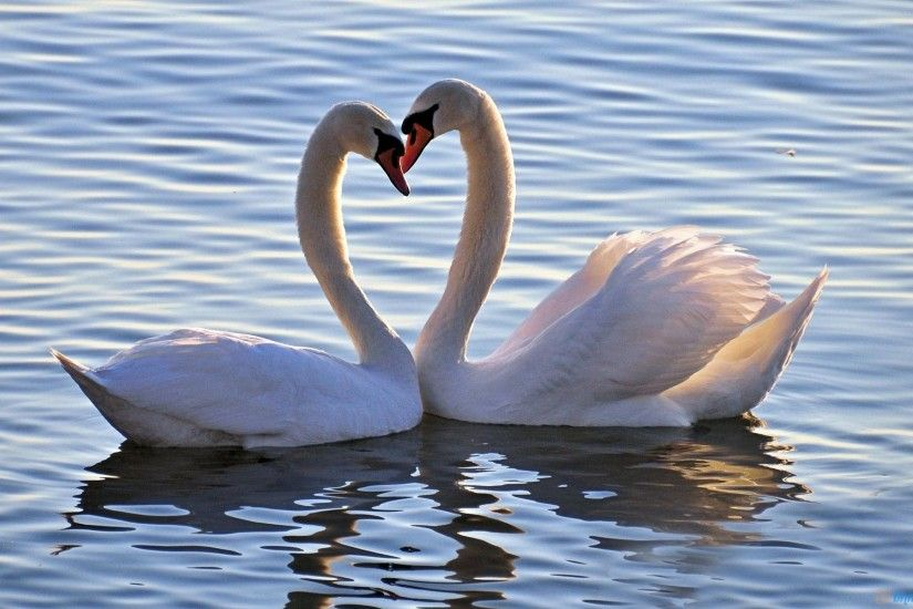 desktop hd love birds wallpapers
