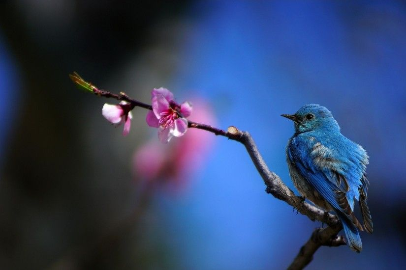 ... Bluebird Wallpapers ...