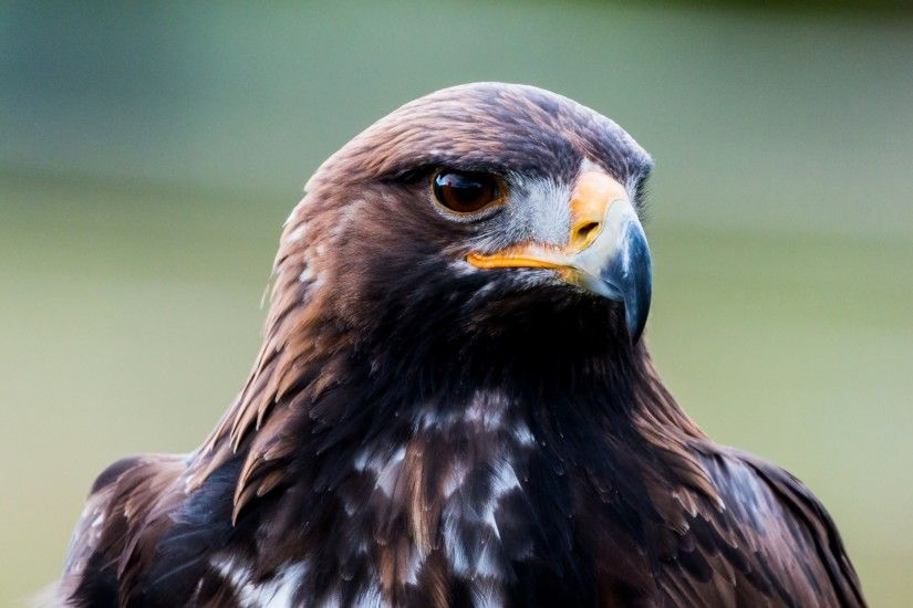 4K HD Wallpaper: Golden Eagle · Free Photos with this beautiful Bird of Prey