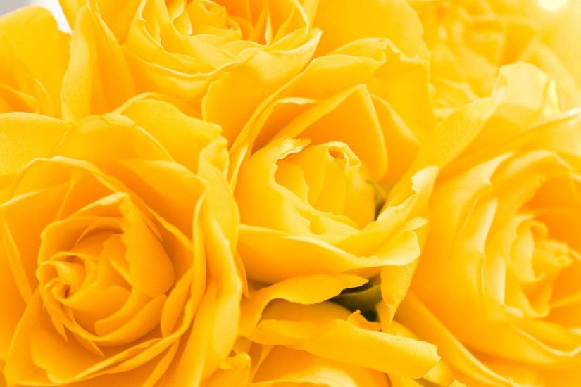 Yellow Rose High Definition #241