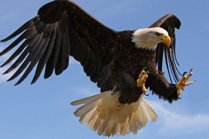 Bald Eagle attack with strong sharp claws-Desktop Wallpaper HD for mobile  phones and computers : Wallpapers13.com
