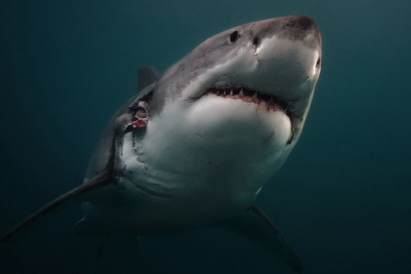 Preview wallpaper shark, predator, underwater 2048x1152