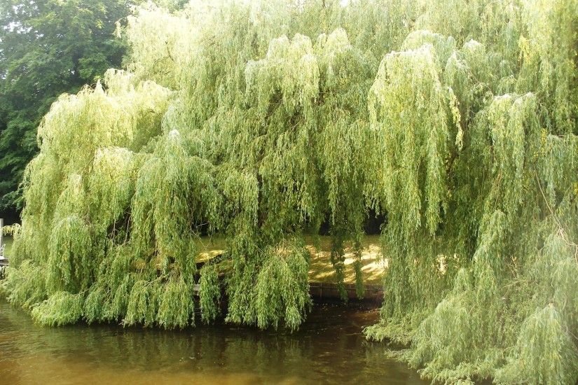 Weeping Willow Tree along the banks of the River Thames - photo taken by A  de