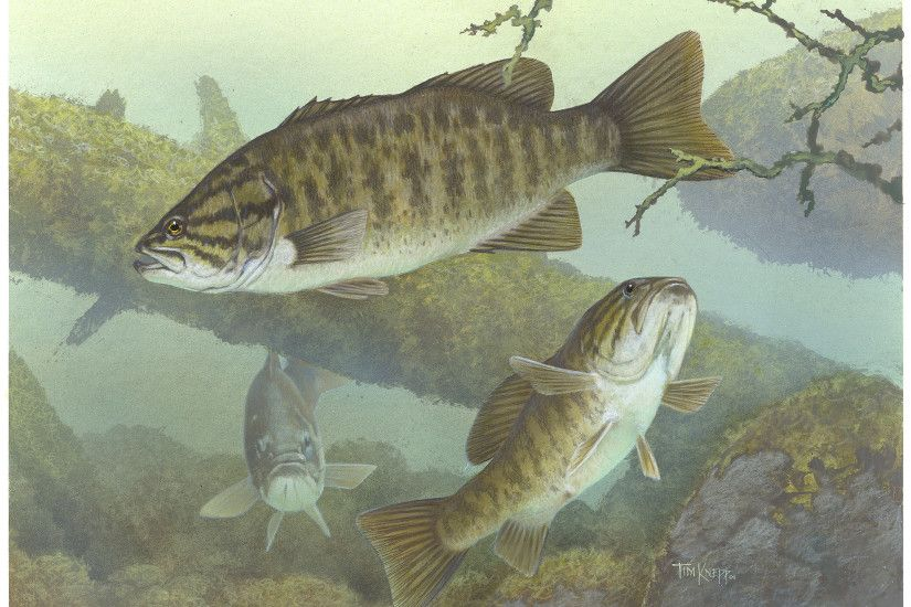 bass images of fish | Smallmouth bass; public domain image - click to  follow to
