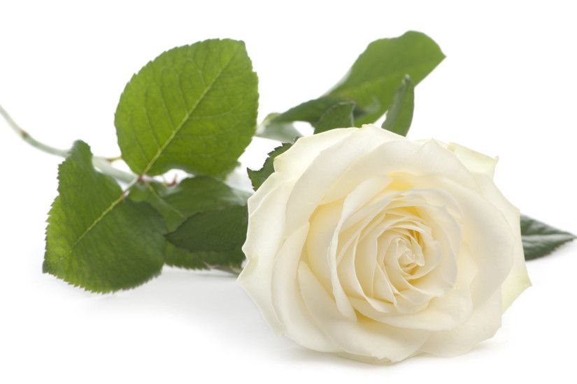 2673x1568 White Rose White Background