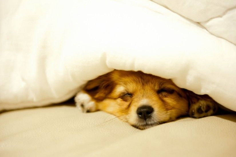 ... Cute puppy sleeping HD Wallpaper 2560x1600