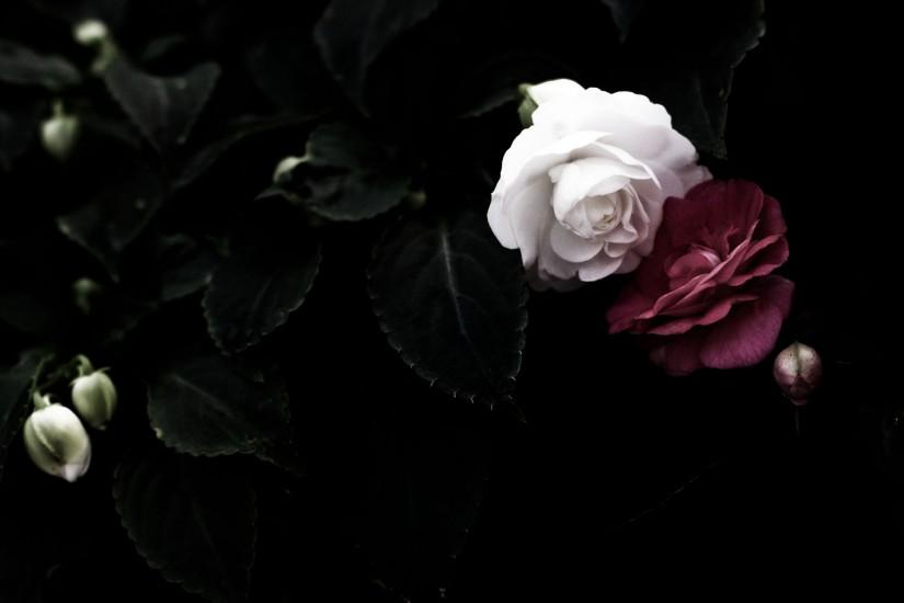 Black Roses Wallpaper Tumblr