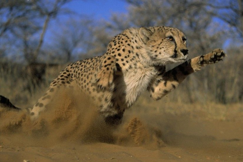 1920x1080 Wallpaper cheetah, jump, run, field, grass, dust