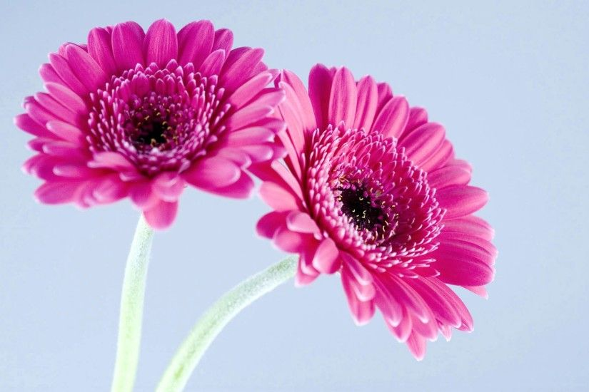 Free Daisy Backgrounds For Desktop Gerbera Daisy Wallpaper HD