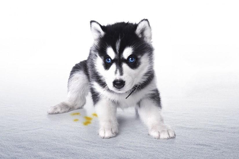 husky wallpaper desktop » Husky Puppy Wallpaper Animal Wallpapers .
