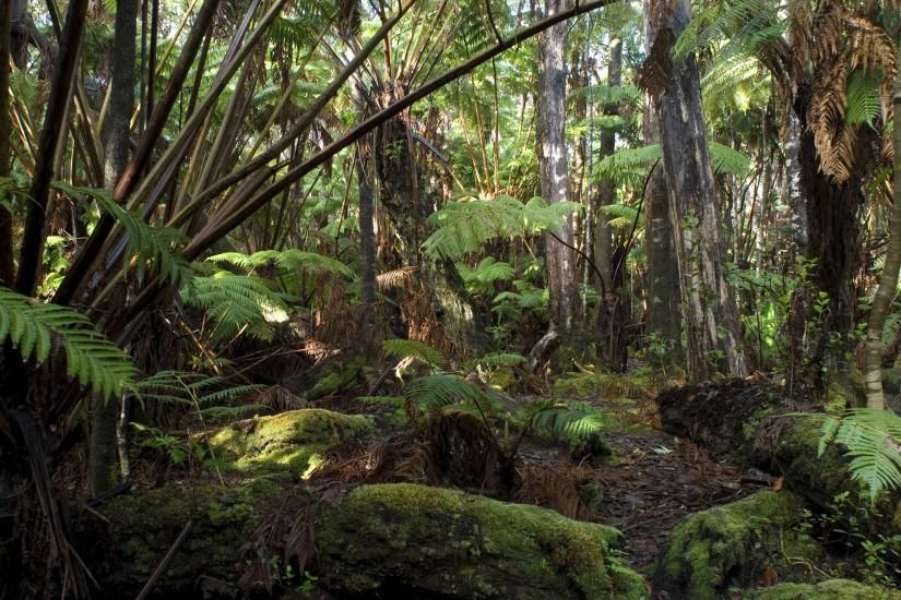forest images | Hawaiian rainforest background with dense trees and lush  green ferns .