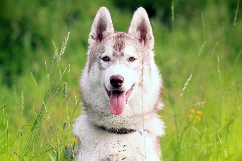 Siberian-husky-wallpaper-hd-130808-1920x1200-1.jpg