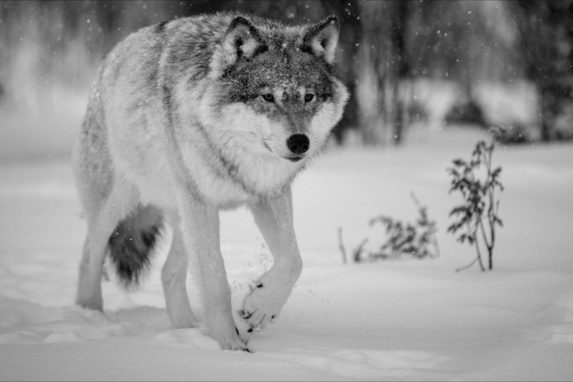 nature winter animals wolf winter wolf