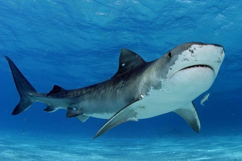 Tiger-Shark-Wallpaper-HD