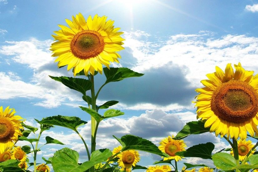 sunflower wallpaper free desktop wallpapers