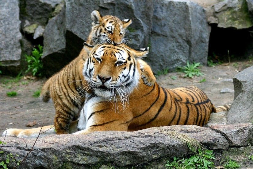 Baby Tiger | Tiger baby with tiger mother, Baby, mom, mother, son