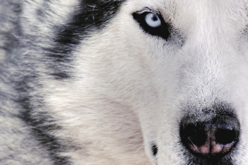 Preview wallpaper husky, dog, face, eyes, spotted 1920x1080