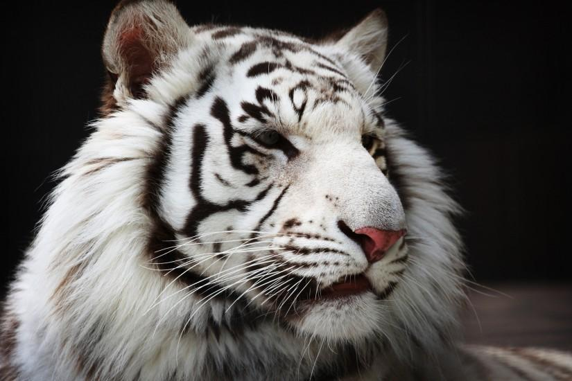 ... white tiger wallpapers background perfect wallpaper backgrounds on  animal category similar with awesome baby bengal black