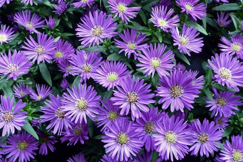 Fall Petal Plant Leaf Flowers Purple Nature Flower Wallpapers Large Size