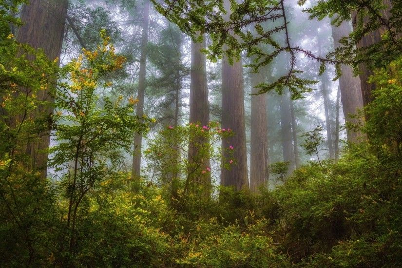 nature, Landscape, Mist, Forest, Redwood, Shrubs, Wildflowers, Trees,  Morning Wallpaper HD