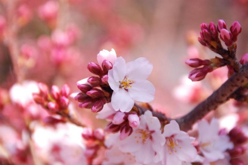 amazing cherry blossom wallpaper 1920x1080 tablet