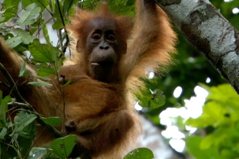 Baby Orangutan has strong bond with mum - Animal Super Parents: Episode 1  Preview - BBC One - YouTube