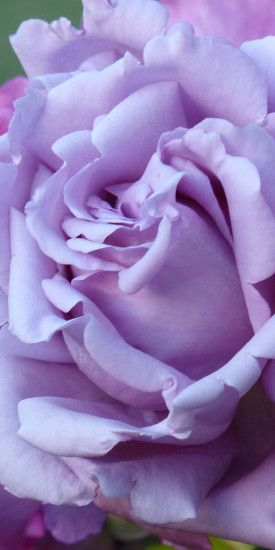 Close up, purple rose, bloom, 1080x2160 wallpaper