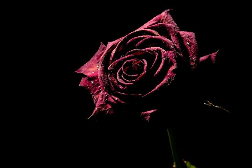 Beautiful Red Rose Black Background