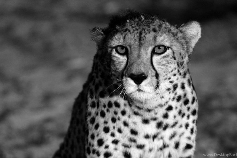 Cheetah Wallpapers wallpaper hd 1920×1080