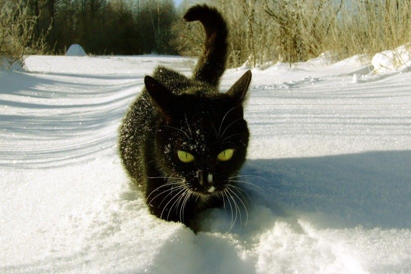 Black Cat in the Snow wallpapers and stock photos