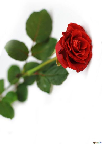 Download free image Red rose in HD wallpaper size 1920px