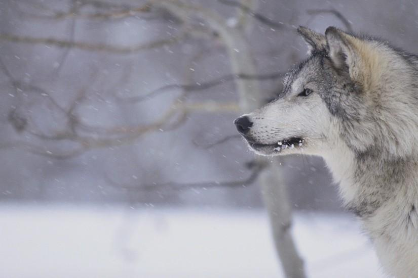 Gray Wolf in Snow