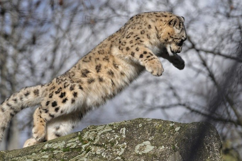 ... Panter , Puma etc images on Pinterest | Animals ... Wild Cat Wallpapers  - WallpaperSafari 13 ...