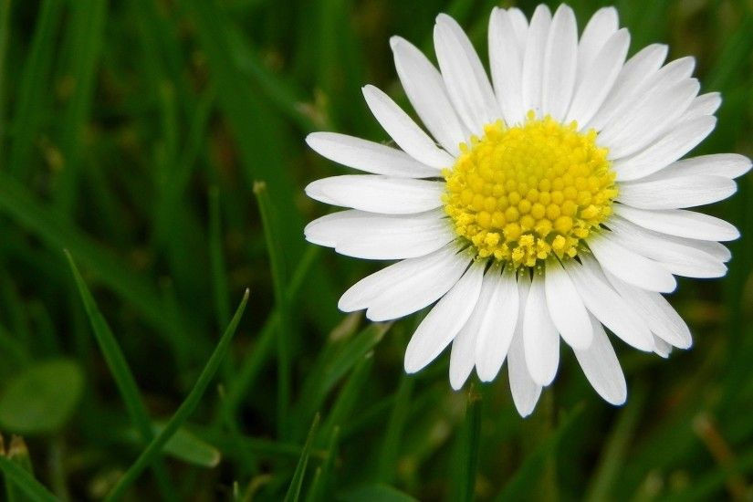 white daisy flower pictures. Â«Â«