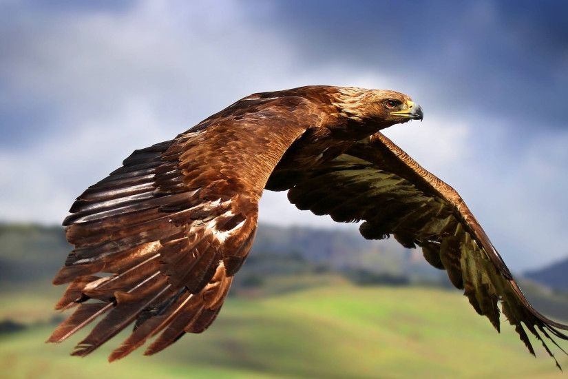 Ultra HD Flying Falcon 1920×1200 | Ultra HD Wallpapers | Pinterest |  Falcons and Animal