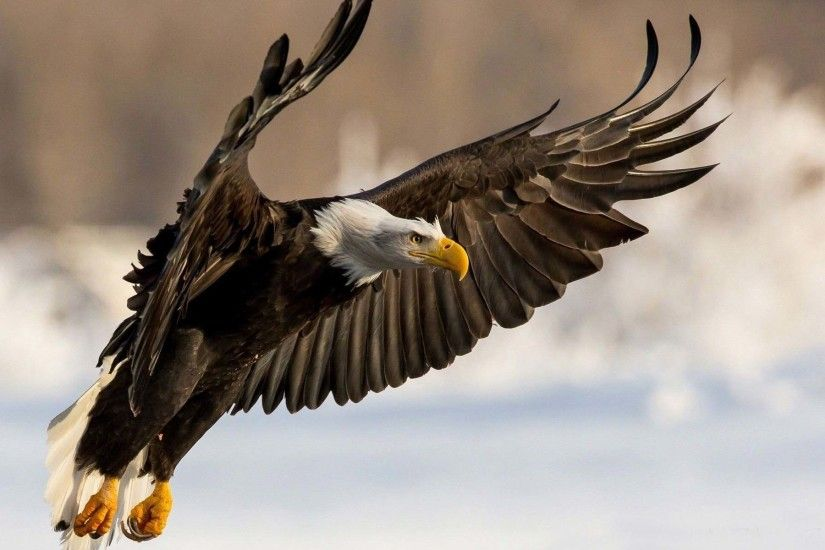 bald eagle bird wallpaper 19684