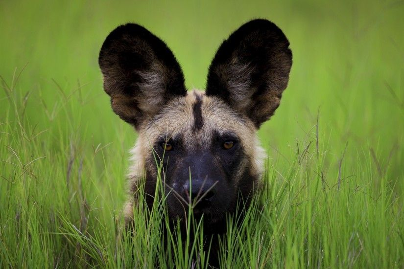 Related Wallpapers from Cool Snake Wallpaper. African Wild Dog