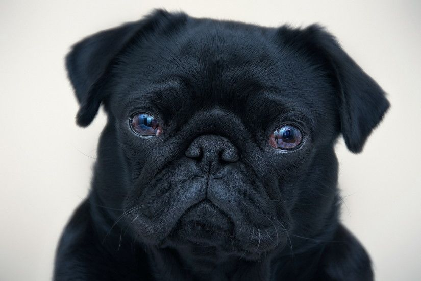 Pug hd wallpaper