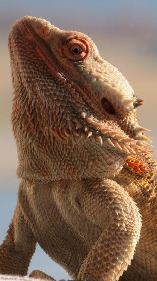 1440x2560 Wallpaper central bearded dragon, lizard, reptile