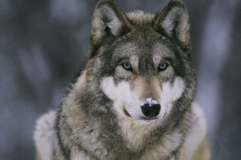 Wolf HD Wallpaper 1920x1080 Wolf ...