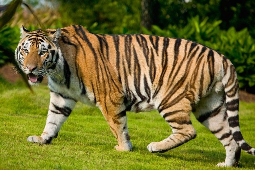 Tiger Animals HD Free Pictures Wallpapers Download