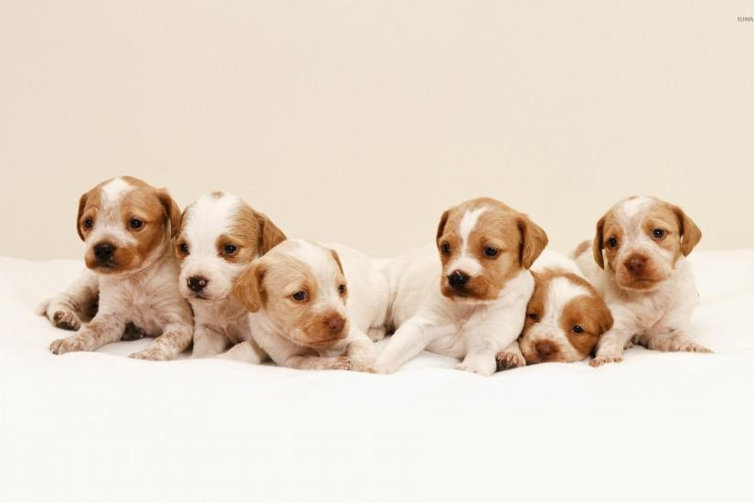 full size puppies wallpaper 1920x1200 photo