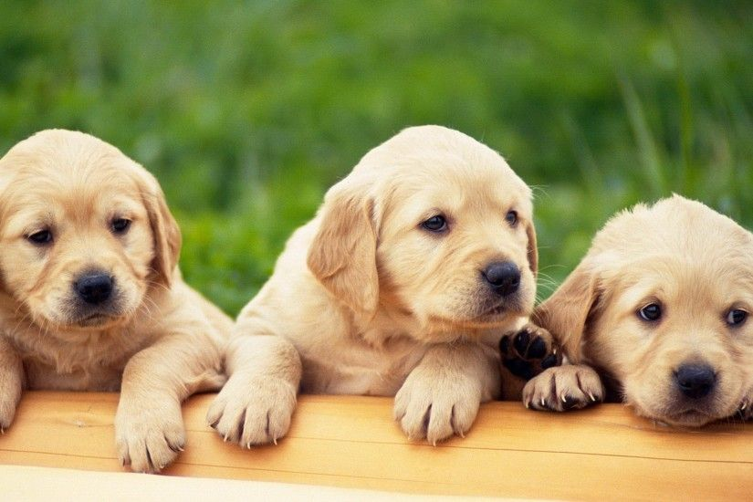 puppies desktop wallpaper 15470