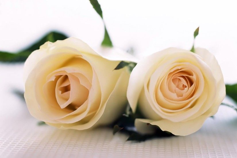 Desktop Wallpapers · Gallery · Nature · Perfectly White Roses .