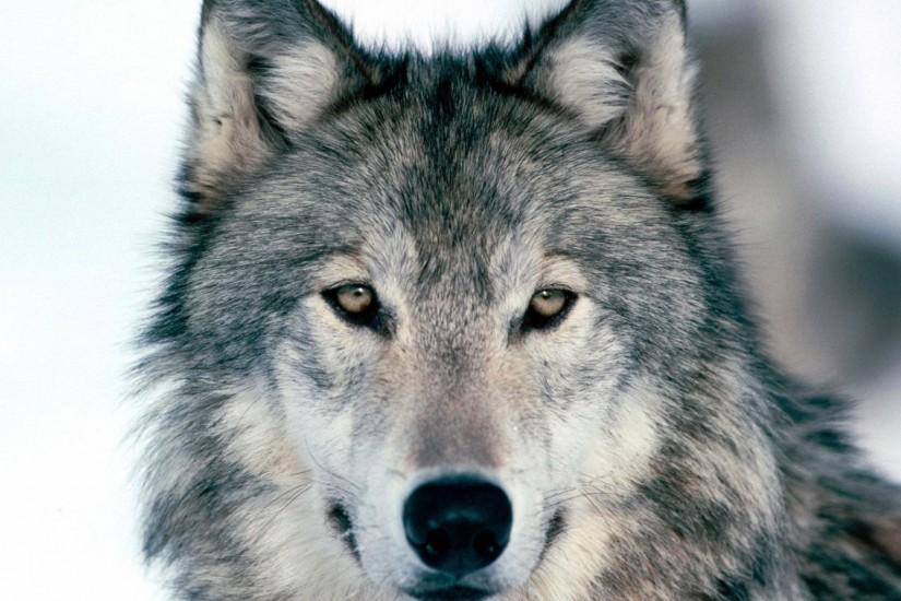 Preview wallpaper wolf, winter, snow, face, eyes, predator 2048x1152