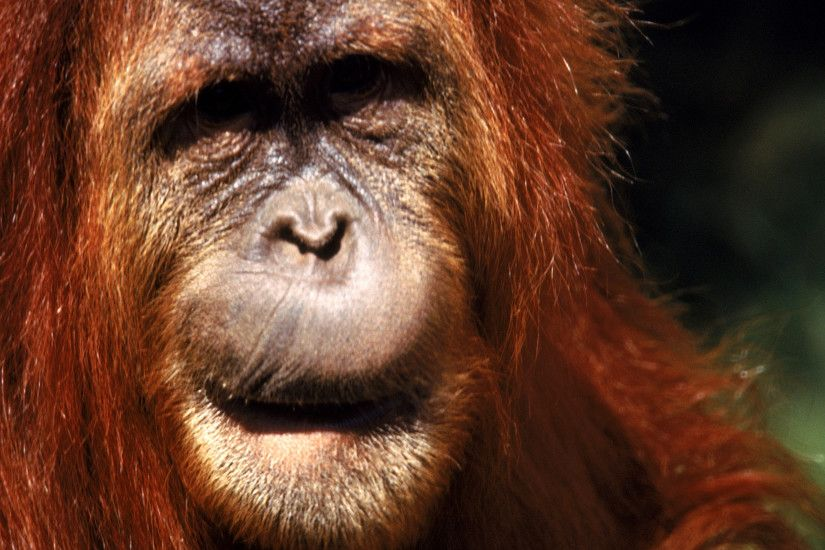 Orangutan Computer Wallpapers, Desktop Backgrounds .