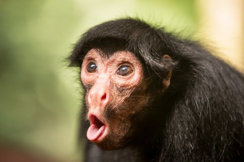 snout, comedy, windows desktop images, monkey, humor wallpapers, tongue,  animals
