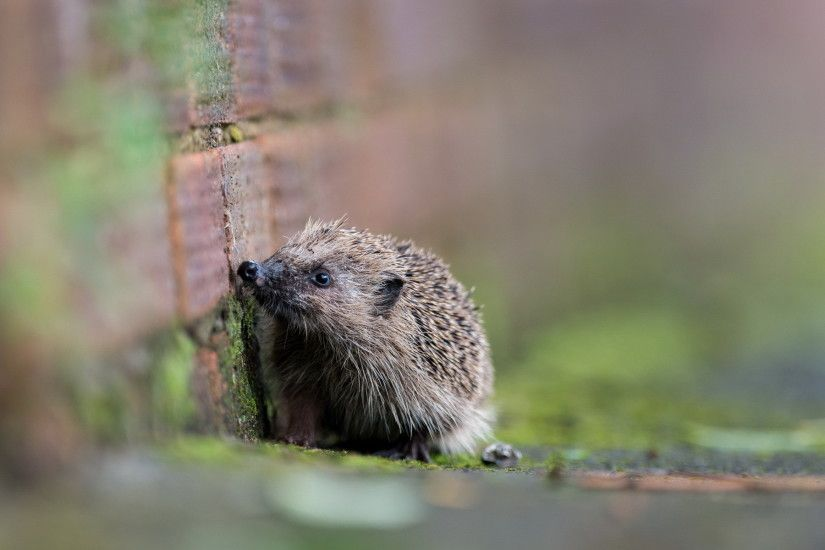 12 Wonderful HD Hedgehog Wallpapers