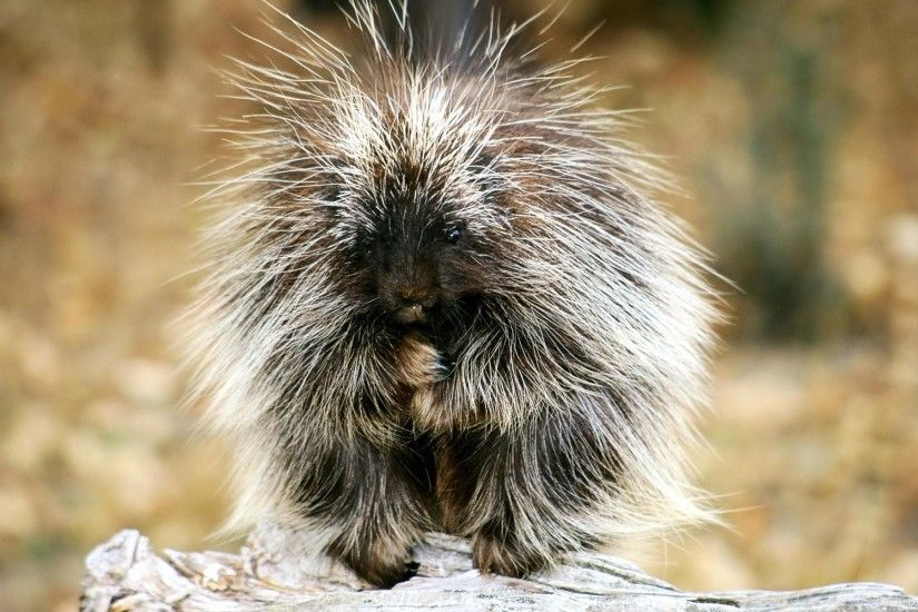 Baby Porcupine Exotic Animals Hd Wallpaper