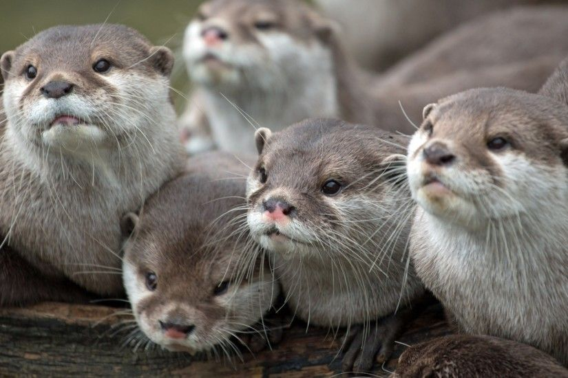 1920x1080 Wallpaper otters, animals, family, view